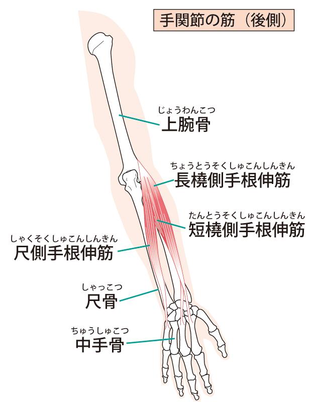 短橈側手根伸筋のイラスト